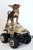 Ride the Jeep! - Russian toy terrier puppy Stock Photo