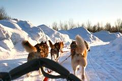 Ride a Siberian husky in Husky park , Murmansk Russia Stock Photography