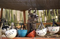 rideable llama arkivbilder