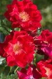 Riden Een takje skåpbil de heldere rozen laten Rosa mötte een lichtebloemblaadjes Arkivbild