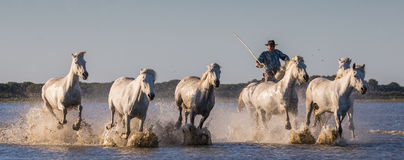 Rider on the Camargue horse gallops through the swamp. Royalty Free Stock Photo
