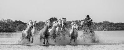 Rider on the Camargue horse gallops through the swamp. Stock Photography