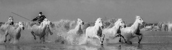 Rider on the Camargue horse gallops through the swamp. Royalty Free Stock Photos