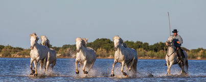 Rider on the Camargue horse gallops through the swamp. Royalty Free Stock Image