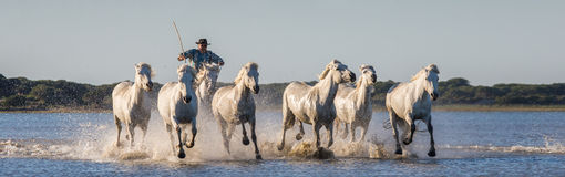 Rider on the Camargue horse gallops through the swamp. Stock Photo