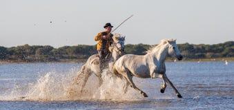Rider on the Camargue horse gallops through the swamp. Stock Photos