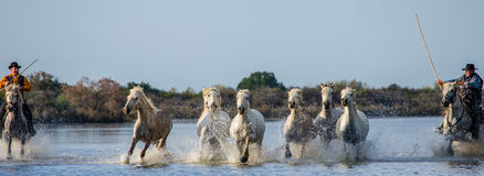 Rider on the Camargue horse gallops through the swamp. Royalty Free Stock Photography