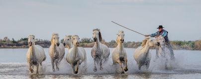 Rider on the Camargue horse gallops through the swamp. Stock Images