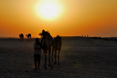Rider with camels at sunset Stock Images