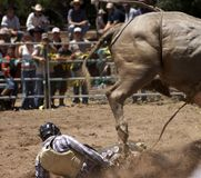 Rider Down. Rodeo rider down and in danger of being trampled royalty free stock photo