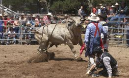 Rider Down. Angry Bull being distracted as the rider tries to get up Stock Image
