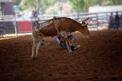 Rider Falls Off Bucking Calf novo no rodeio do país imagem de stock royalty free