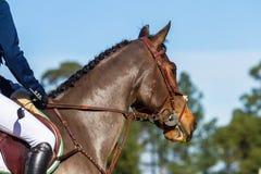 Rider Horse Bridle Fotografie Stock Libere da Diritti