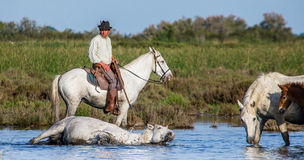 Rider on the horse graze Camargue horses in the swamp Royalty Free Stock Image