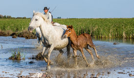 Rider on the horse graze Camargue horses in the swamp Royalty Free Stock Images