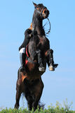 Rider on the horse reared Royalty Free Stock Photo