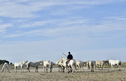 He rider on a horse and White Camargue Horses Royalty Free Stock Image