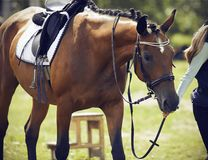 Rider leads a bridle horse, dressed in ammunition for equestrian sports royalty free stock photos