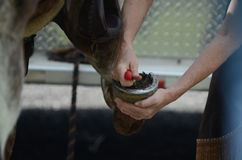 A rider picks out her horse's hooves Stock Images