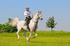 Rider on white arabian horse. In the field Royalty Free Stock Images