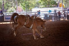 Riderless Bucking Horse At Rodeo. Riderless bucking bronco horse at indoor country rodeo Stock Image