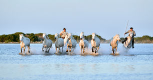 Riders and Herd of White Camargue horses running through water Royalty Free Stock Image