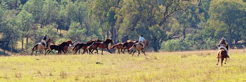Riders Herding Wild Horses. Cowboys herding racing wild horses in beautiful countryside stock photography