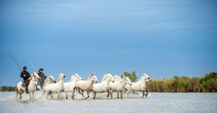 Riders on the White horse drives the horses through the water. Herd of white horses galloping through water. France . Camargue Stock Photography