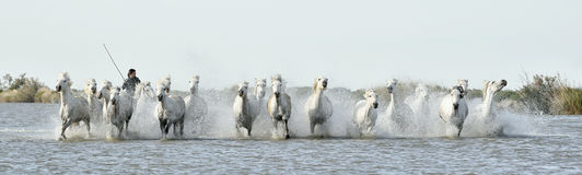 Riders and White horses of Camargue running through water. Stock Photo
