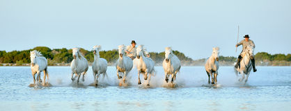 Riders and White horses of Camargue running through water. PROVENCE, FRANCE - 07 MAY, 2015: Riders and White horses of Camargue running through water. France Royalty Free Stock Photo
