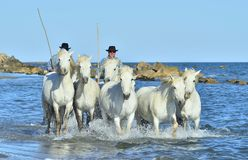 Riders and White horses of Camargue running on the water. PROVENCE, FRANCE - 07 MAY, 2015: Riders and White horses of Camargue running on the water. Nature Stock Photography