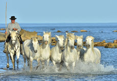 Riders and White horses of Camargue running on the water. PROVENCE, FRANCE - 07 MAY, 2015: Riders and White horses of Camargue running on the water. Nature Royalty Free Stock Images
