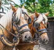 RideThrough the flemish fields with horse and covered wagon. Royalty Free Stock Photo