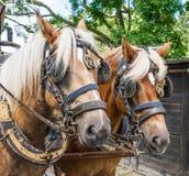 RideThrough flemish odpowiada z koniem i zakrywającym furgonem. Zdjęcie Royalty Free