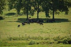 Ridge Appalachia azul - vacas negras de angus Foto de archivo