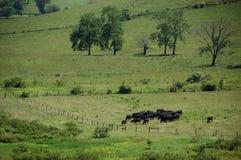 Ridge Appalachia azul - vacas negras de angus Imagen de archivo libre de regalías