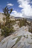Ridge With Bristlecone Pine Trees Royalty Free Stock Images