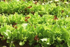 Ridge green salad Stock Photography