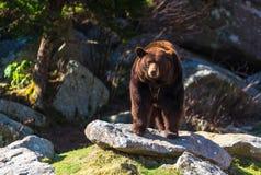 Ridge Mountain Black Bear blu Immagini Stock Libere da Diritti