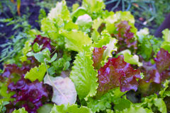 The ridge of purple and green lettuce. The garden bed of colorful lettuce and spinach royalty free stock image