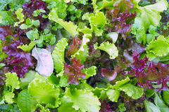The ridge of purple and green lettuce. The garden bed of colorful lettuce and spinach stock photography
