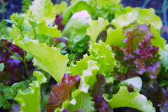 The ridge of purple and green lettuce. The garden bed of colorful lettuce and spinach royalty free stock images