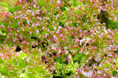 The ridge of purple and green lettuce. The garden bed of colorful lettuce and spinach Stock Photo
