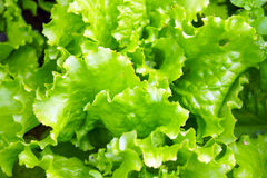The ridge of purple and green lettuce. The garden bed of colorful lettuce and spinach Stock Image