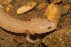 Ridge Red Salamander bleu larvaire photos libres de droits