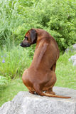 Ridge of Rhodesian Ridgeback stock photo