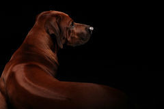 Ridge of Rhodesian Ridgeback. Beautiful Rhodesian Ridgeback hound dog lying and showing his ridge on the back of his body. Isolated on black studiobackground Stock Photos