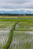 Ridge And Rice field in Chiangmai , Northen Thailand Stock Images
