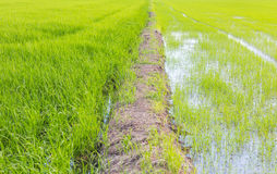 The ridge staight way thougt the rice field Royalty Free Stock Image