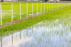 The ridge staight way thougt the rice field Royalty Free Stock Photos